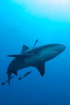 SharksuckersbyEarth Touchon Flickr
