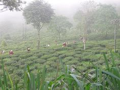 Tourist Places in Kurseong:  Kurseong is one of the favorite tourist places in Darjeeling, West Bengal.