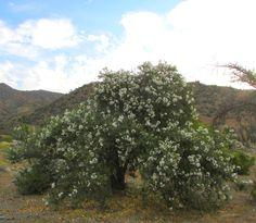 Carbonillo, arbusto muy floribundo de la cuarta región