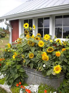 Sunflower Garden Ideas how to grow huge sunflowers Red Gate Farm Sunflowers In A Trough Outside This Tiny Place Tiny Homes