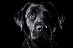 Great Black Labrador shot.