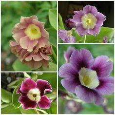 Aurikel - Seite 2 - Gartenpraxis - Mein schöner Garten online