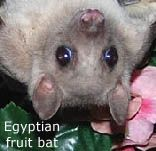 Bats are not flying mice; they are not even remotely related to rodents. Bats are such unique animals that scientists have placed them in a group all their own, called 'Chiroptera', which means hand-wing. Bats are grouped with primates and lemurs in a grand order called Archonta. Bats are not blind. Most bats can see as well as humans. Fruit bats have eyesight that is adapted to low-light, much like cats. Bats groom their fur, keeping it soft and silky. Bats are not ugly or dirty.