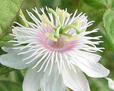 This Pink-white Passion Flower is a variety of passion flower that can be found at Kadalakurushi near Palakkad in Kerala, India.