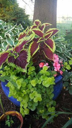 Shade pot.  Coleus, New Guinea impatiens and goldilocks lysamachia.  Yellow House Landscape Design.