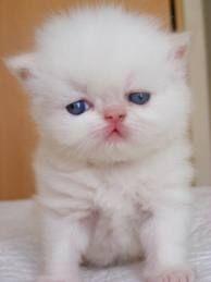 gatos persas - Google Search