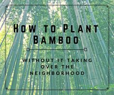 Bamboo has a bad reputation for growing out of control and taking over the neighborhood with its running rhizomes that pop up everywhere you don't want it to go…