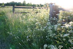 cow parsley - the most wonderful cut flower