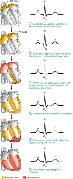 ECG Pacemaker cells trigger action potentials throughout the heart: Human Anatomy and Physiology Nclex, Nursing School Notes, Nursing Schools, Medical School, Cardiac Nursing, Pharmacology Nursing, Surgical Nursing, Surgical Tech, Respiratory Therapy