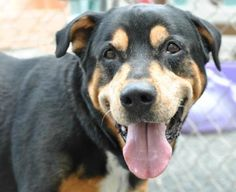 Meet Jack, an adoptable Rottweiler looking for a forever home. Dog • Rottweiler & Akita Mix • Adult • Male • Large  Rescue Ridge Spring Lake, NJ