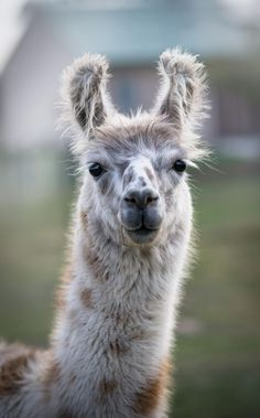 Llamas are the friendliest Llama Pictures, Animal Pictures, Alpacas, Cute Llama, Llama Llama, Farm Animals, Cute Animals, Wild Animals, Llama Drawing