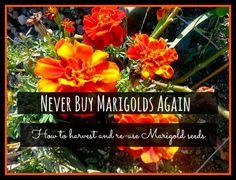 never buy marigolds again - harvesting seeds
