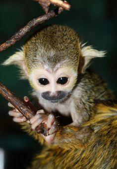 Super Cute Baby Squirrel Monkey