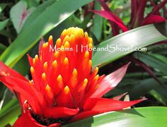 Bromeliads make an easy ground cover especially under the oak trees.