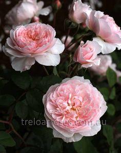 WISLEY 2008 - Treloar Roses