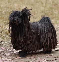 Puli Information and Pictures, Pulis, Hungarian Water Dogs