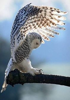 Funny Birds, Funny Animals, Cute Animals, Funny Pets, Animal Species, Bird Species, Bird Calls, Lion Tattoo Design, Beautiful Owl