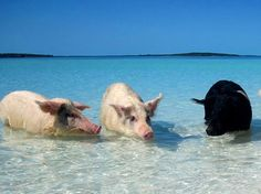 Swim with the pigs in the Bahamas! -- Let our passionate and experienced travel agents get you there!  #travelbetter #caribbean #adventure www.travelleaders.com/travelcenter4u