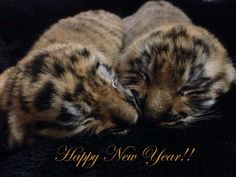 Happy New Year tiger cubs from Dade City's Wild Things