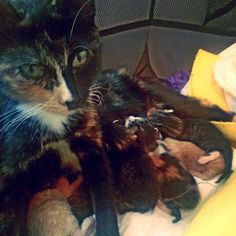 """It's #featurekittyfriday and we are showing some love to our #meowboxICD contest winners💕! This winning entry was captioned, """"Overwhelmed"""". Visit @the_catmama_dfw to learn more about foster mama Callie and her six babies🐾 who will all need homes soon! #themeowlife #furrybabies"""