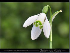 79 Meilleures Images Du Tableau Perce Neige Planting Flowers