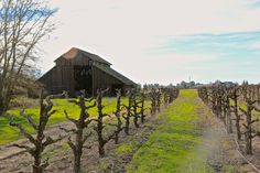 Ancient barn and head trained Zinfandel on Lodi's west side...