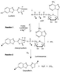 reaccion quimica de la bioluminiscencia