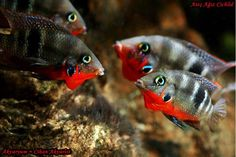 Firemouth Cichlid/Thorichthys meeki-Rio Subin (male+female disputing territory with another pair)