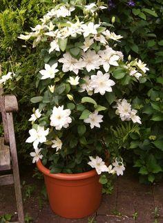 Les clématites sont des plantes grimpantes à la floraison colorée se cultivent en pot pour fleurir balcons et terrasses. Découvrez comment les planter !