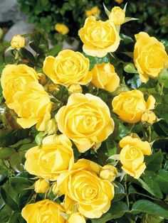 Rose 'Walking on Sunshine' - Forms a dense bush that is smothered with fragrant bright yellow roses. Height 3-5'. Zones 5-10