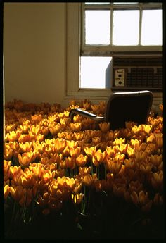 Tulips in an office (by Anna Schuleit)