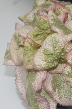 Episcia 'Pink Dreams' Whatsoever Things Are Lovely, Begonia, Bonsai, Violets, Pasta, Nature, Exotic Plants, Pansies, Pasta Recipes