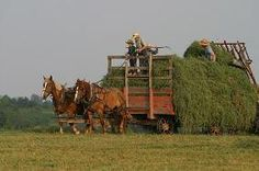Amish harvest, in which the entire family participates
