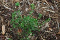 French Thyme is a wonderful culinary herb and has a similar taste to English Thyme, but produces daintier, more narrow leaves.