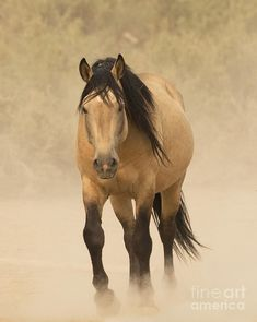 Buckskin horse - A wild mustang stallion named Bugs approaches at a waterhole in Sand Wash Basin, Colorado.