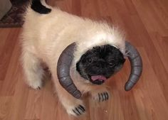 Chubbs the Wampug!