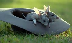 In Australia instead of having the Easter Bunny, they have the Easter Bilby, complete with loong ears