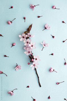 Cherry blossom on blue by RuthBlack | Stocksy United