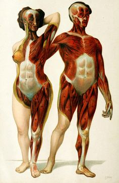 Superficial muscles and fascia in the adult male and female Die Frau als Hausärztin. Dr. Anna Fitcher-Duckelmann, 1911.