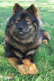 eurasier - spitz / northern dog breeds from the online dog encyclopedia -