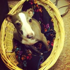 casey- italian gray hound