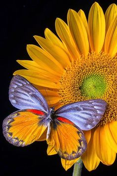 """Sunflower with Butterfly Source: http://fineartamerica.com/featured/sunflower-with-gray-orange-butterfly-garry-gay.html. """"Repinned by Keva xo""""."""