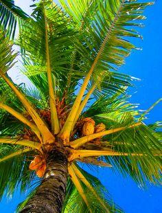 The beautiful coconut palm tree. Shell Island, Coconut Grove, Aloha Hawaii, Big Island, Island Life, Tropical Fruits, Tree Forest, Hawaiian Islands, Tropical Paradise