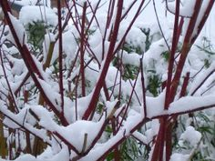 dogwood in snow-check tortipede