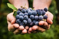 Papo Com a Gu: Como Pronunciar os Nomes das Uvas Vitis Vinifera? Sauvignon Blanc, Cabernet Sauvignon, Grape Recipes, Dog Food Recipes, Grape Diet, Toxic Foods For Dogs, Fruit List, Chenin Blanc, Natural Treatments