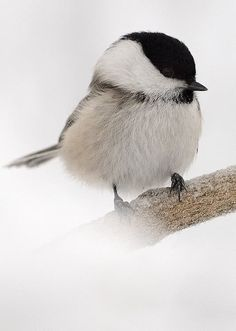 chickadee-dee-dee -- they stay over during the cold Canadian winters and hover round the bird-feeders or hide in the pine and spruce trees and cedar hedges.