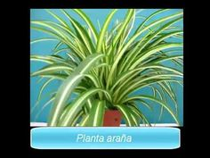 Plantas de interior - 6 plantas para purificar el aire - YouTube
