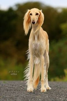 Image result for saluki pictures