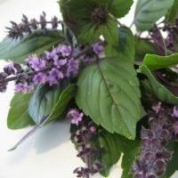 """BASIL is an herb that I'm fast becoming to love! It's in recipes from all around the world! This website is """"all things basil,"""" and will teach you about the varieties and how to grow them! I'm adding this to my garden this year!"""