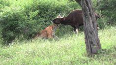 Rarest video of a tiger killing a gaur...